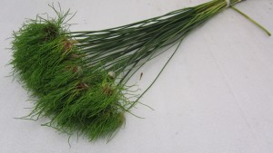 Allium Hair