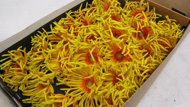 Gerbera Daisy Pasta Penoni