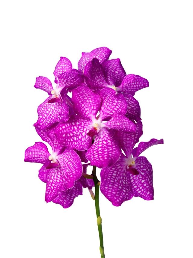 Vanda Magic Pink