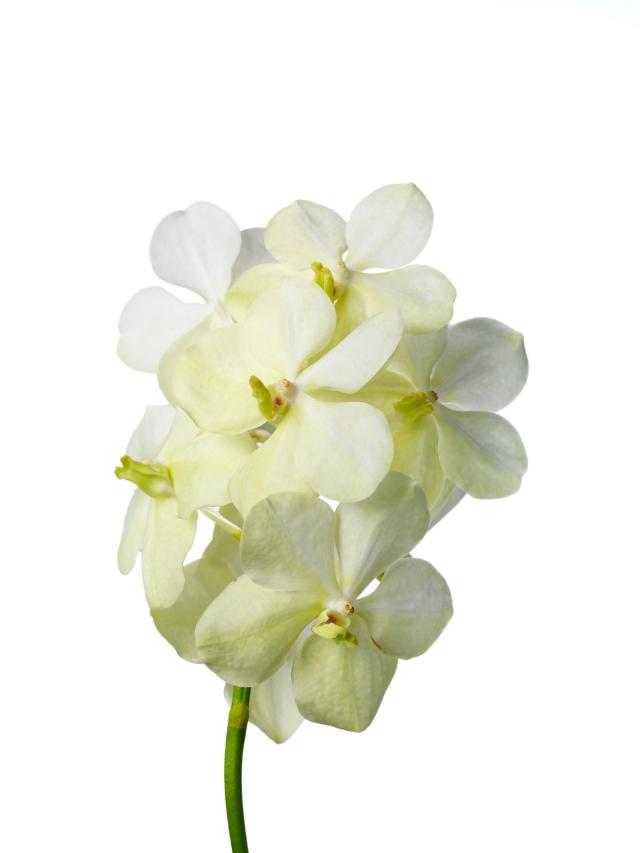 Vanda Tayanee White