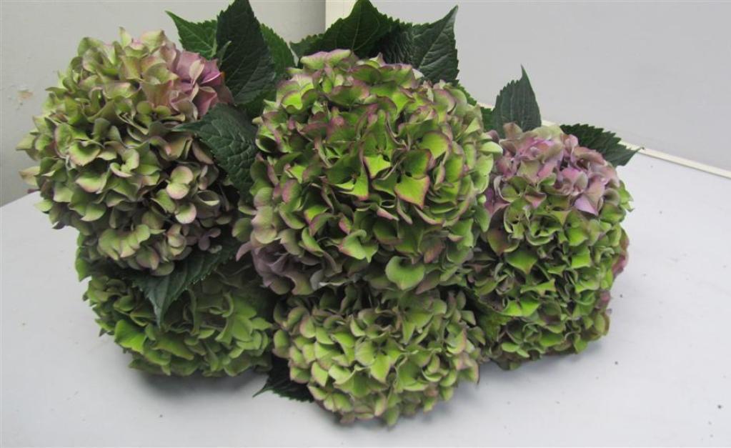 Hydrangea Purple Antique Metropolitan Wholesale