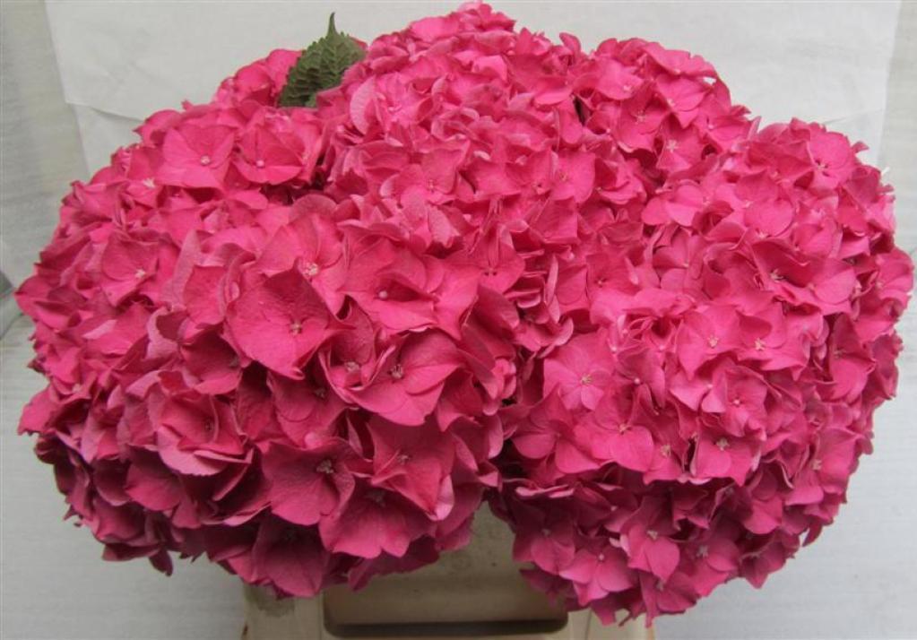 Hydrangea Rodeo Pink