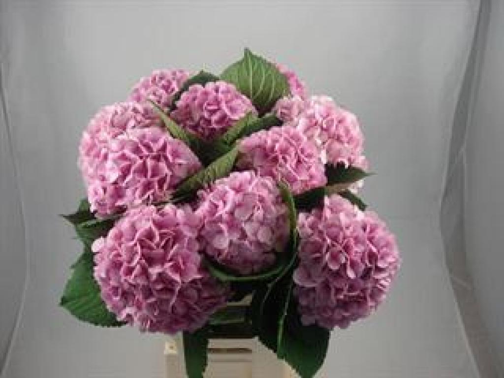 Hydrangea Vendetta Pink