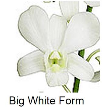 Dendrobium Big White Form