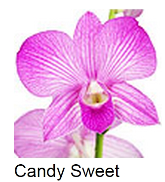 Dendrobium Candy Sweet