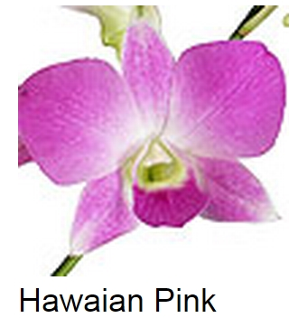 Dendrobium Hawaiian Pink