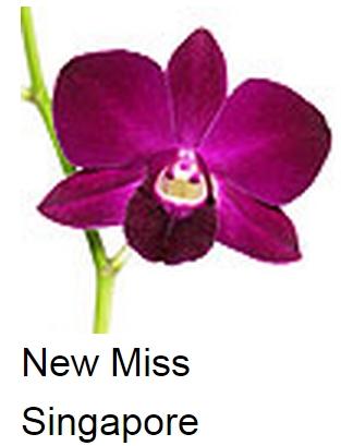 Dendrobium New Miss Singapore