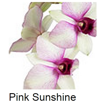 Dendrobium Pink Sunshine