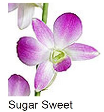 Dendrobium Sugar Sweet