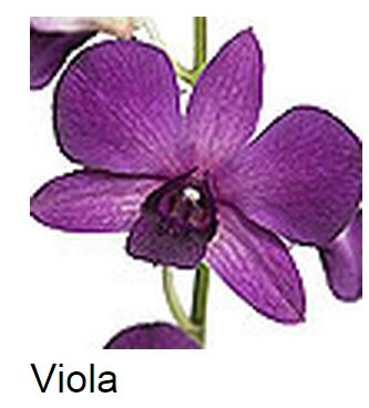 Dendrobium Viola