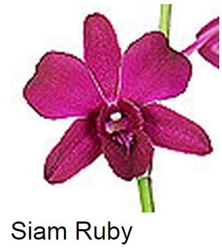 Dendrobium Siam Ruby