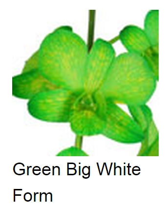 Dendrobium Dyed Green White Form