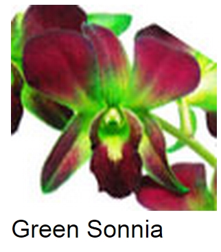 Dendrobium Dyed Green Sonia