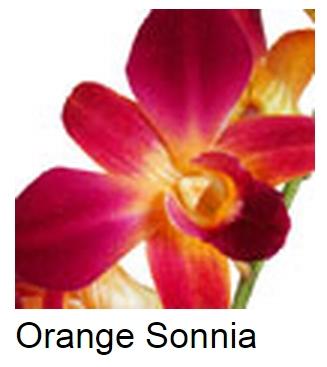 Dendrobium Dyed Orange Sonia