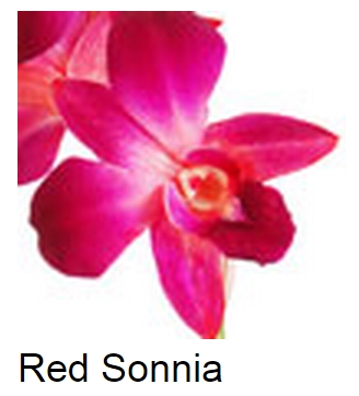 Dendrobium Dyed Red Sonia