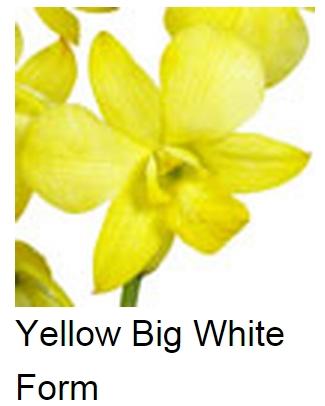 Dendrobium Dyed Yellow Big White Form