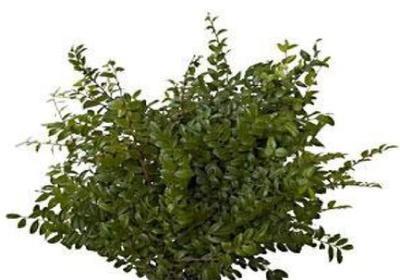 green-huckleberry
