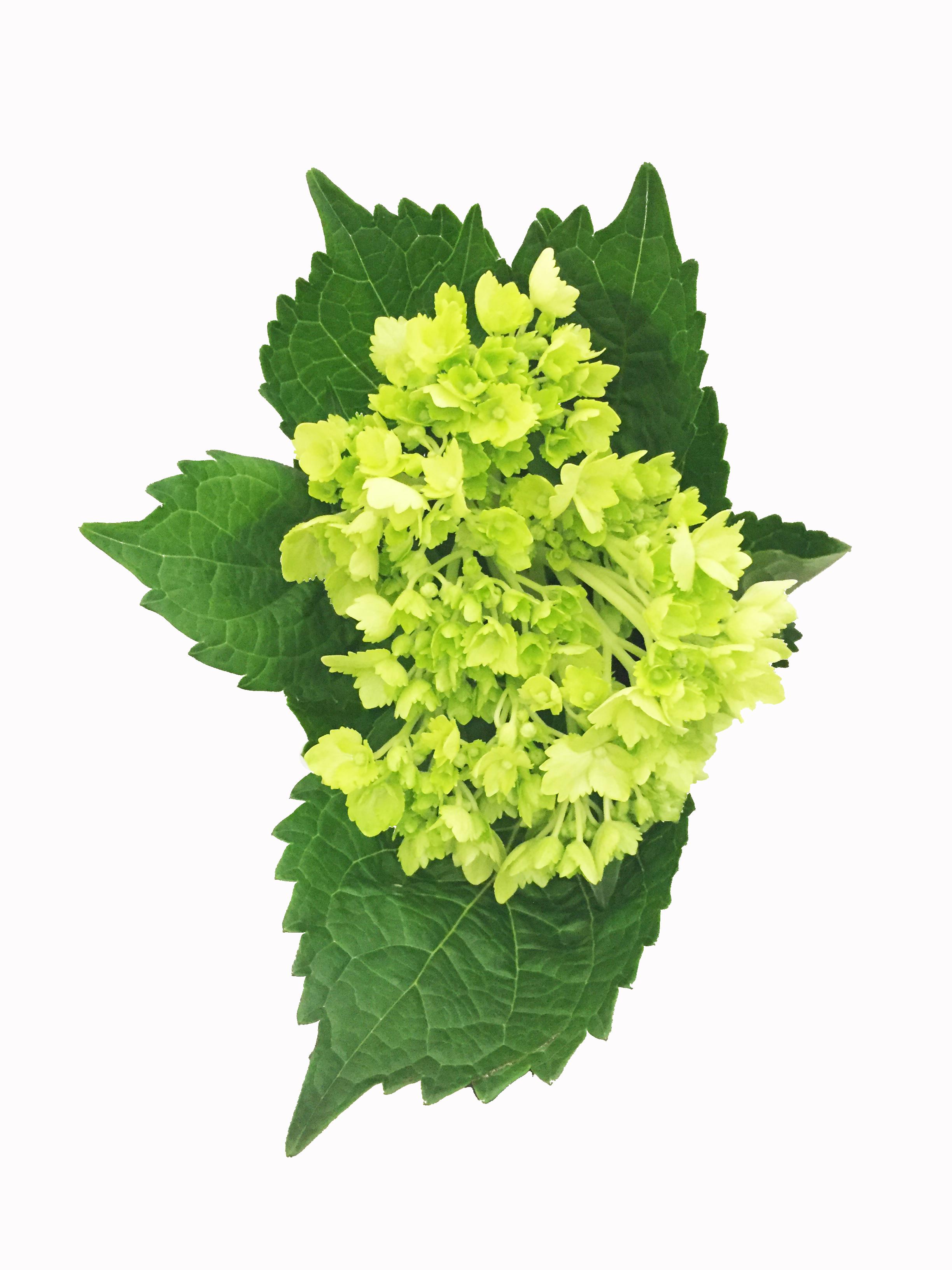 mini-green-hydrangea